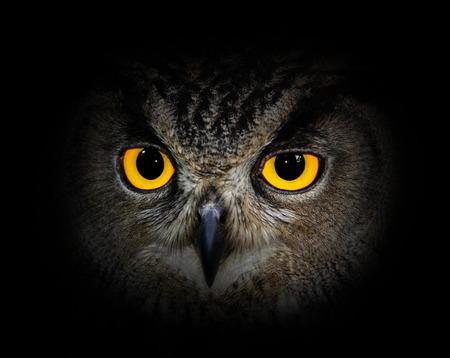 Photo for Eagle Owl, Bubo bubo - Royalty Free Image