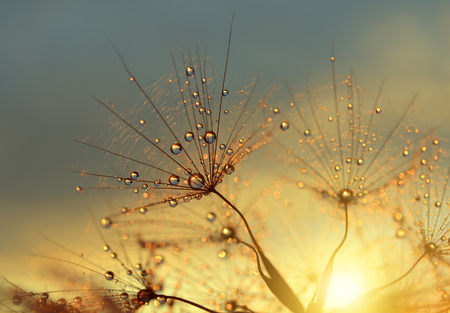 Photo for Dewy dandelion flower at sunset close up - Royalty Free Image