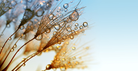 Photo pour Dew drops on a dandelion seeds at sunrise close up. - image libre de droit