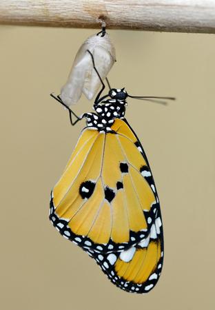 Photo pour Plain Tiger (Danaus chrysippus). - image libre de droit