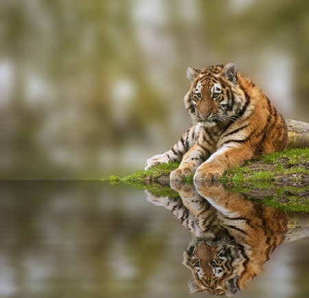 Sttunning tiger cub relaxing on a warm day reflection in water