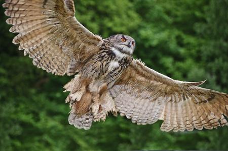 Photo for Beautiful image of European Eagle Owl in flight bubo bubo - Royalty Free Image