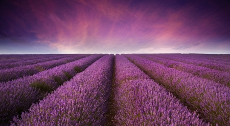 Photo for Beautiful image of lavender field Summer sunset landscape - Royalty Free Image