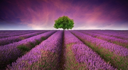 Photo pour Beautiful image of lavender field Summer sunset landscape with single tree on horizon contrasting colors - image libre de droit
