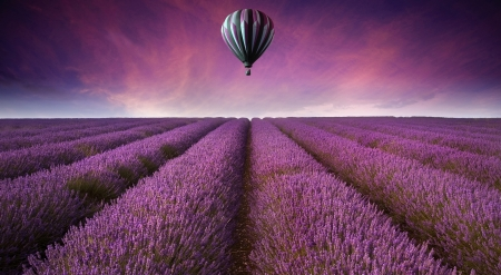 Photo for Beautiful image of lavender field Summer sunset landscape with hot air balloon - Royalty Free Image