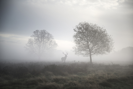 Photo for Red deer stag in foggy Autumn landscape - Royalty Free Image