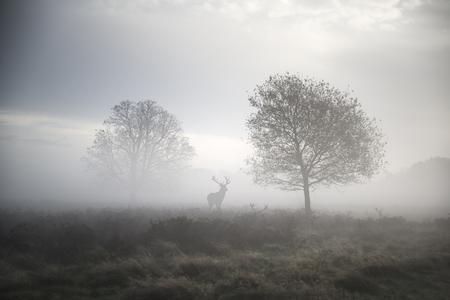 Photo pour Red deer stag in foggy Autumn landscape - image libre de droit