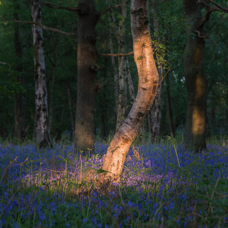 Photo for Beautiful bluebell forest landscape image in morning sunlight in Spring - Royalty Free Image