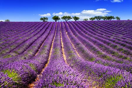 Photo pour Lavender field in Provence, near Sault, France - image libre de droit