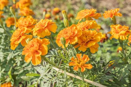 Photo pour Marigold (Calendula officinalis) - image libre de droit
