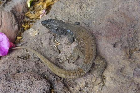 lizard  - Gallotia Galloti - the Canaries islands