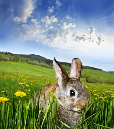 Photo pour spring rabbit on a meadow with dandelions  - image libre de droit