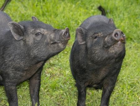 a cute black pigs