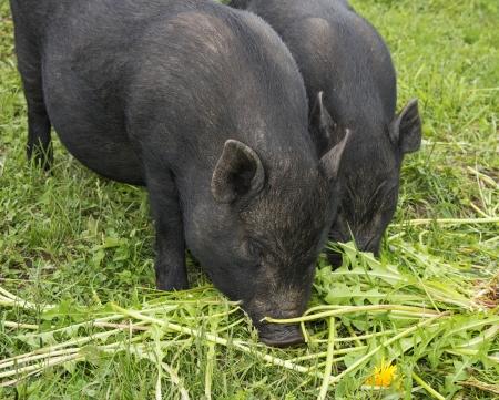 a black vietnamese pigs eating grass