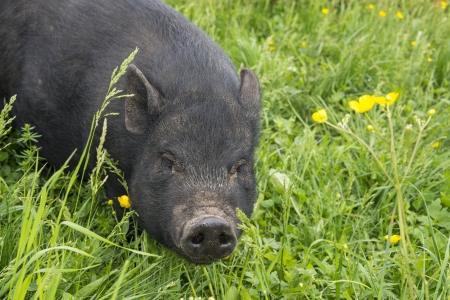 black vietnamese pig eating grass