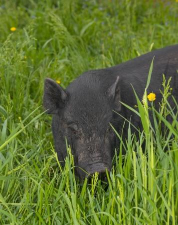 a black vietnamese pig eating grass