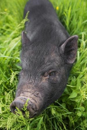 a black vietnamese pig on a meadow