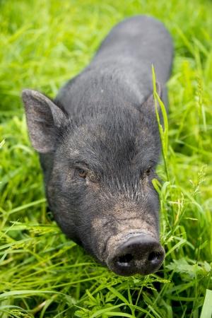 black vietnamese pig on a meadow