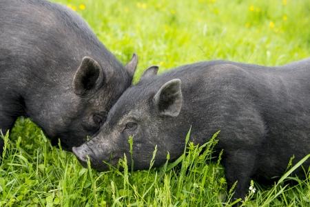 cute black vietnamese pigs