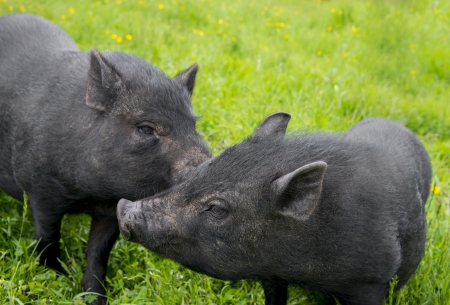 black vietnamese pigs