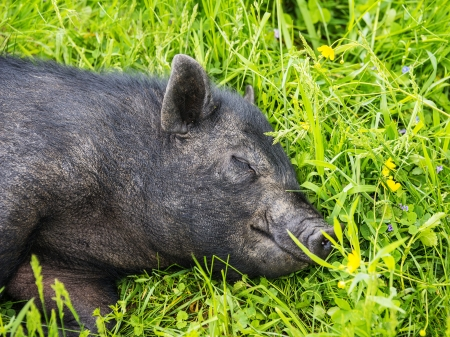 cute black vietnamese pig resting in grass