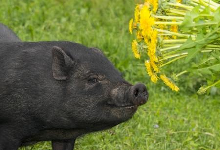 cute black vietnamese pig eating dandelions