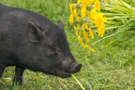 cute little black vietnamese pig eating dandelions