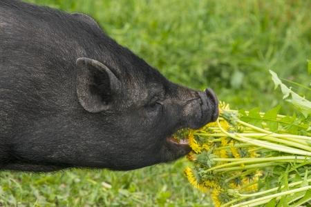 black vietnamese pig eating dandelions