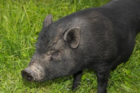 a black vietnamese pig on a spring meadow