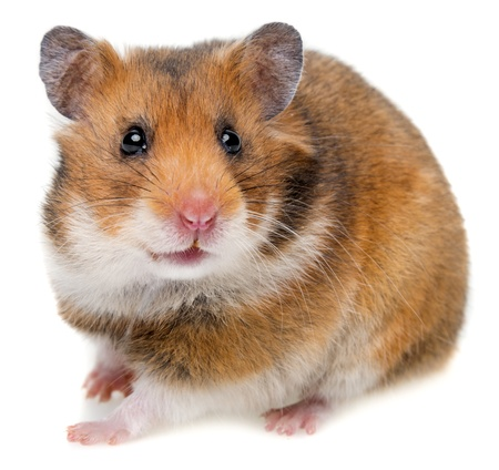 Photo for hamster isolated on a white background - Royalty Free Image