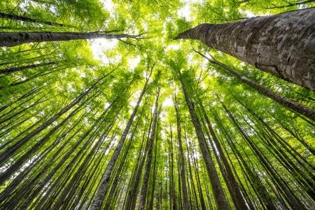 Photo pour big beech trees in spring wood - image libre de droit