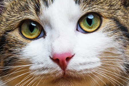 Photo pour a cat portrait close up - image libre de droit