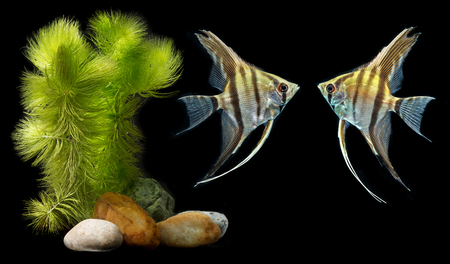 Photo for Angelfish (Pterophyllum scalare) isolated on black background  - Royalty Free Image