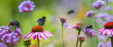 Foto de panoramic view - the garden with Echinacea flowers and butterfly and bumblebees - Imagen libre de derechos
