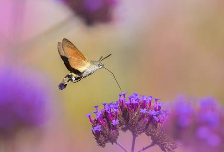 Foto de Hummingbird Hawk Moth (Macroglossum stellatarum) sucking nectar from flower in the garden - Imagen libre de derechos