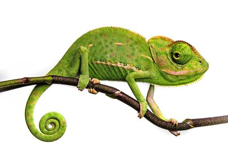 Photo pour cute funny chameleon - Chamaeleo calyptratus on a branch - image libre de droit