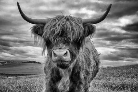 Foto de highland cow - Imagen libre de derechos