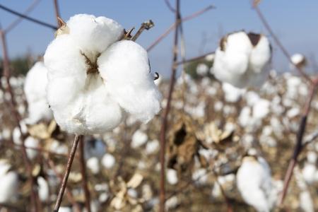Foto de Cotton fields white with ripe cotton ready for harvesting - Imagen libre de derechos
