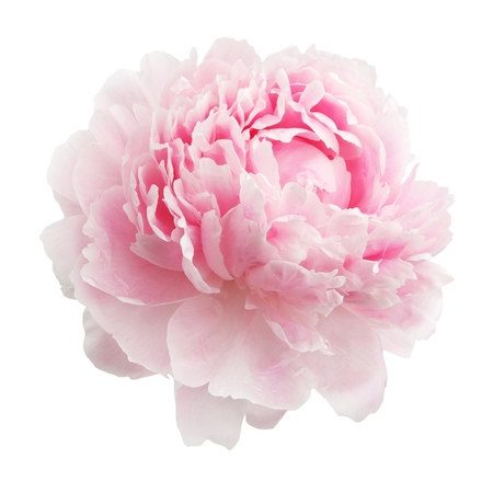 Photo for Pink peony isolated on white background - Royalty Free Image