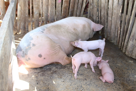 The little white pig was living with his mother.