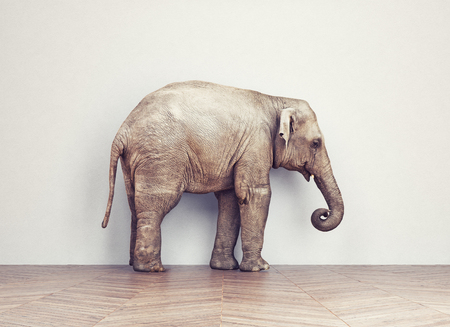 Photo for an elephant calm in the room near white wall. Creative concept - Royalty Free Image