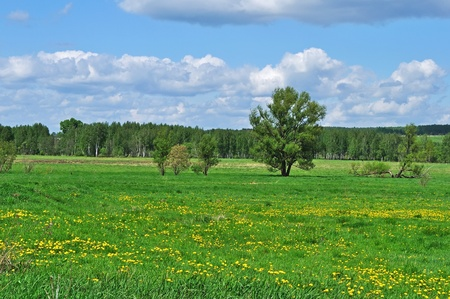 Country landscape with field of blooming dandelions and forest on background, Russia