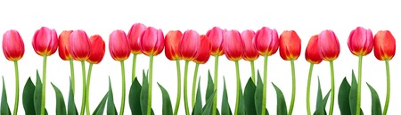 Photo for Group of flowers red tulips isolated. Panorama. Spring landscape - Royalty Free Image