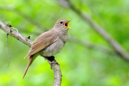 Photo for Singing Thrush nightingale Luscinia luscinia against green background. Near Moscow, Russia - Royalty Free Image