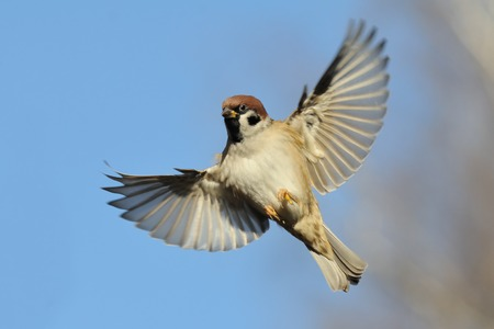 Photo for Flying Eurasian Tree Sparrow Passer montanus in autumn. Moscow region, Russia - Royalty Free Image
