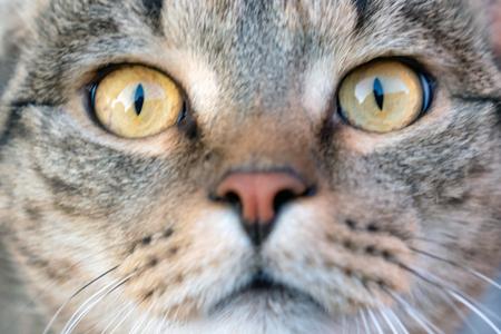 Foto de Ð¡at close-up. Yellow eyes of a cat. - Imagen libre de derechos