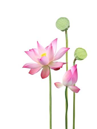 Photo pour lotus flower and seedpod  - image libre de droit