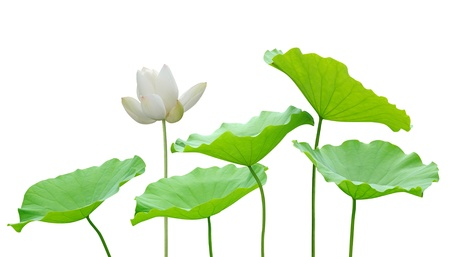 Photo pour Lotus flower and leaf isolated on white  - image libre de droit