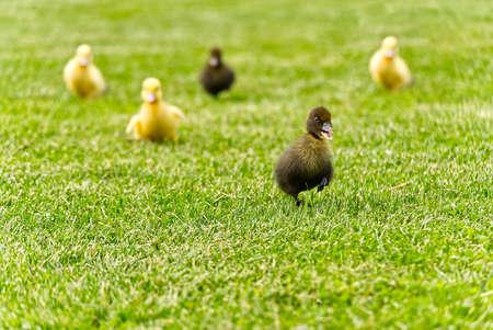 Small newborn ducklings walking on backyard on green grass. Yellow cute duckling running on meadow field on sunny day.