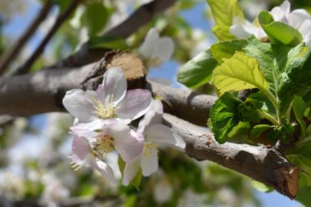 Foto de Apple blossom - Imagen libre de derechos